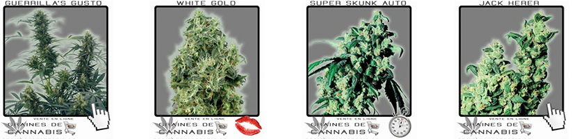 Comment pousser du cannabis en interieur for Skunk interieur