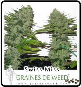 Guide de culture cannabis en ext rieur for Engrais floraison cannabis exterieur